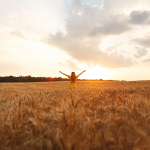 Sunset in the grain fields